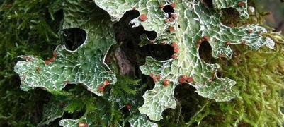 Lunglav är en mycket användbar signalart. Den växer bl.a. på gamla aspar och sälgar. Foto: Magnus Andersson