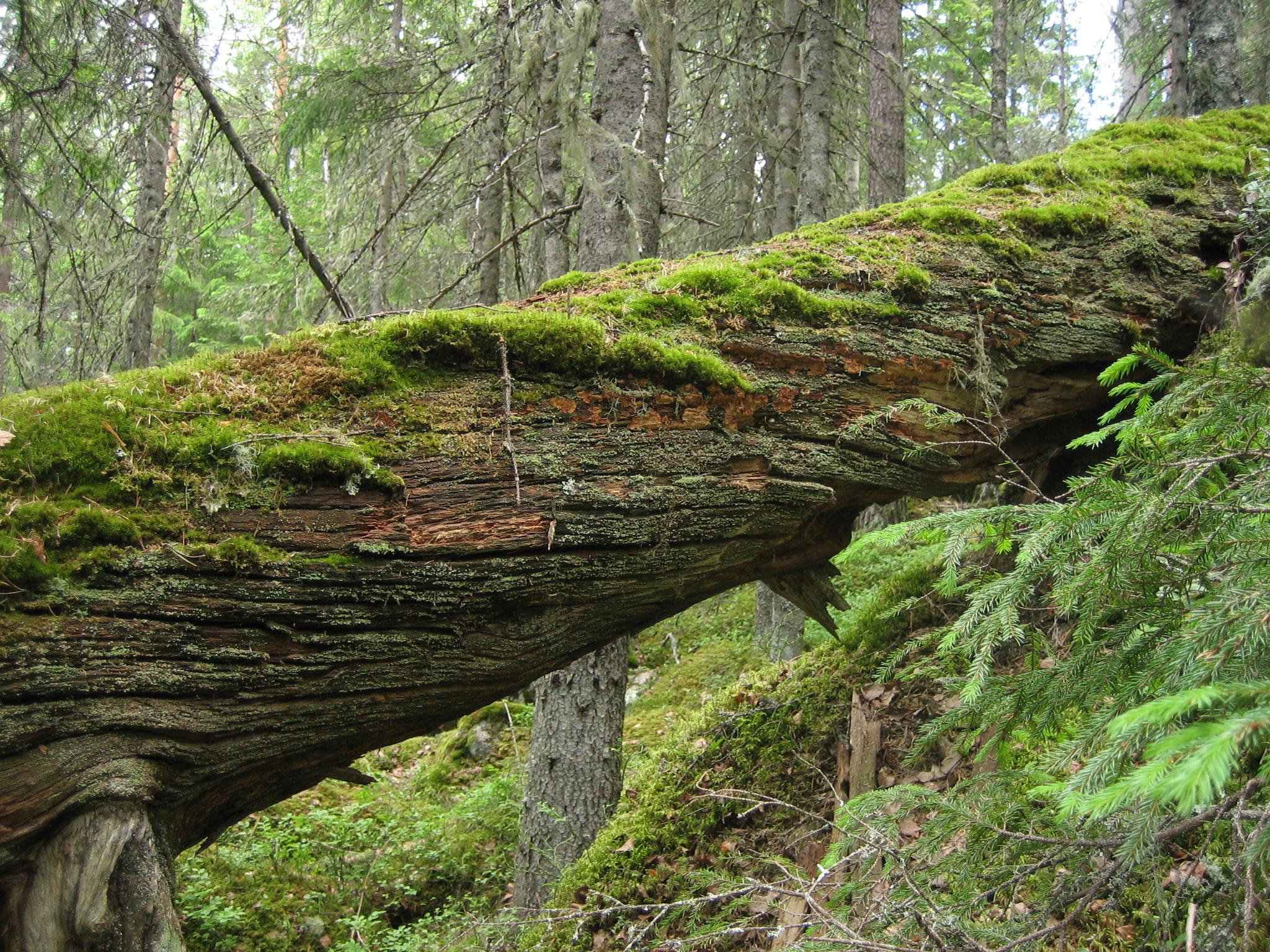 Grova fallna tallågor är en stor bristvara i dagens skogslandskap. De utgör livsmiljö för många idag sällsynta arter.